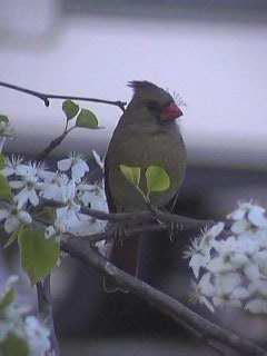 Cardinal (Female) in Bradford Pear